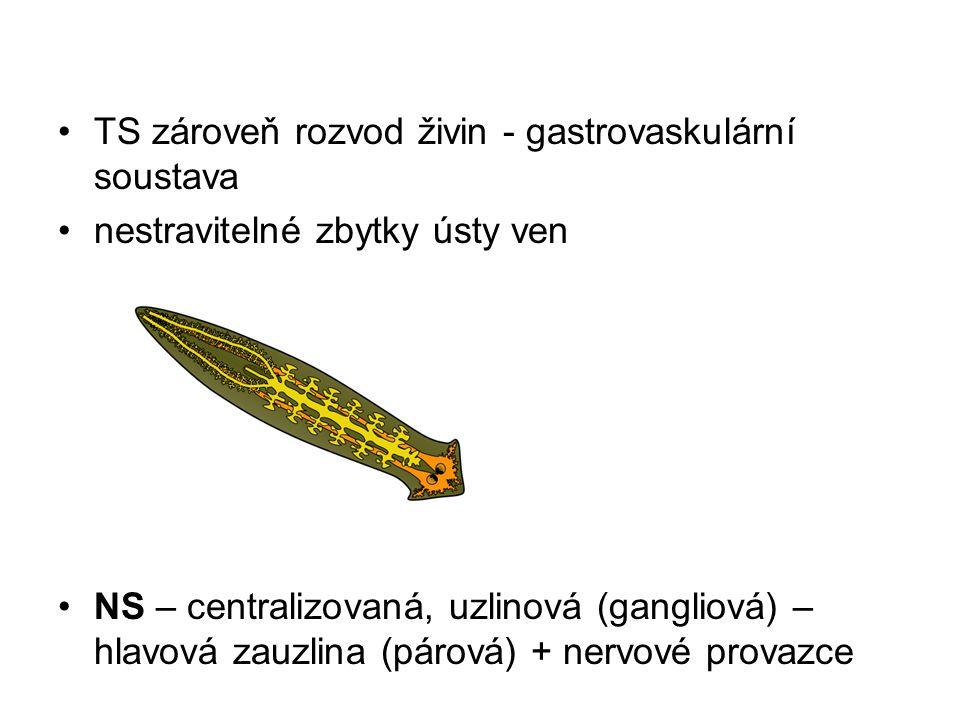 TS zároveň rozvod živin - gastrovaskulární soustava nestravitelné zbytky ústy ven NS – centralizovaná, uzlinová (gangliová) – hlavová zauzlina (párová