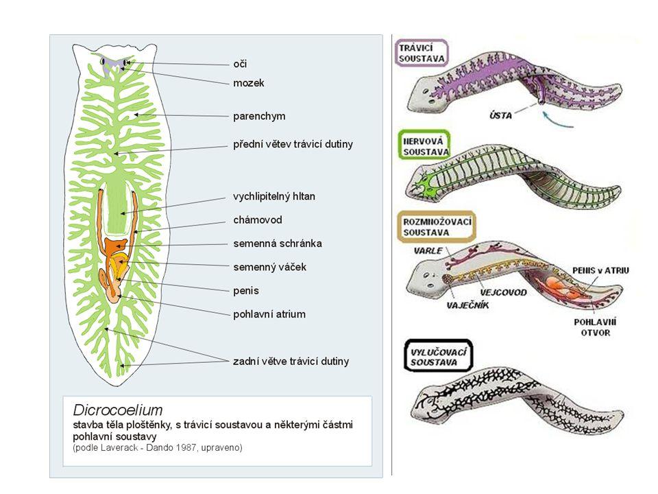 DS – není, CPT rozmnožování: hermafroditi nakladená vajíčka uzavírají do kokonů (kameny ve vodě) sladkovodní ploštěnky – přímý vývoj, mořské nepřímý (přes larvu) regenerace (díky ní i nepohl.