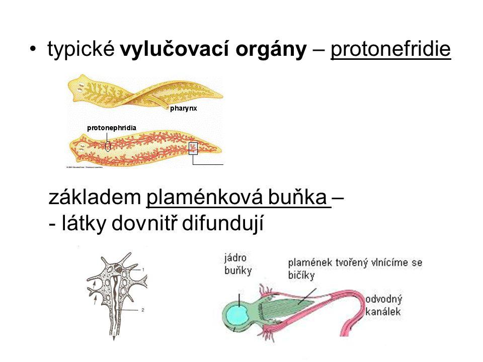 sběrné kanálky protonefridií ústí 8 páry otvorů na hřbetní straně - odvod odpadních látek, regulace obsahu vody v těle => osmoregulace