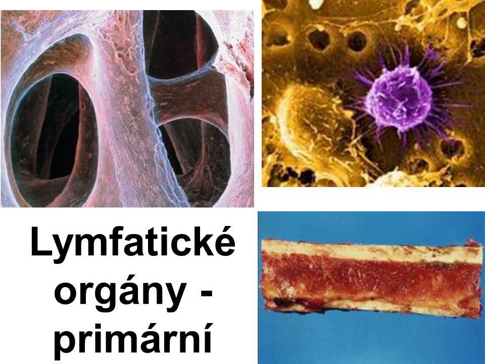 Lymfatické orgány - primární