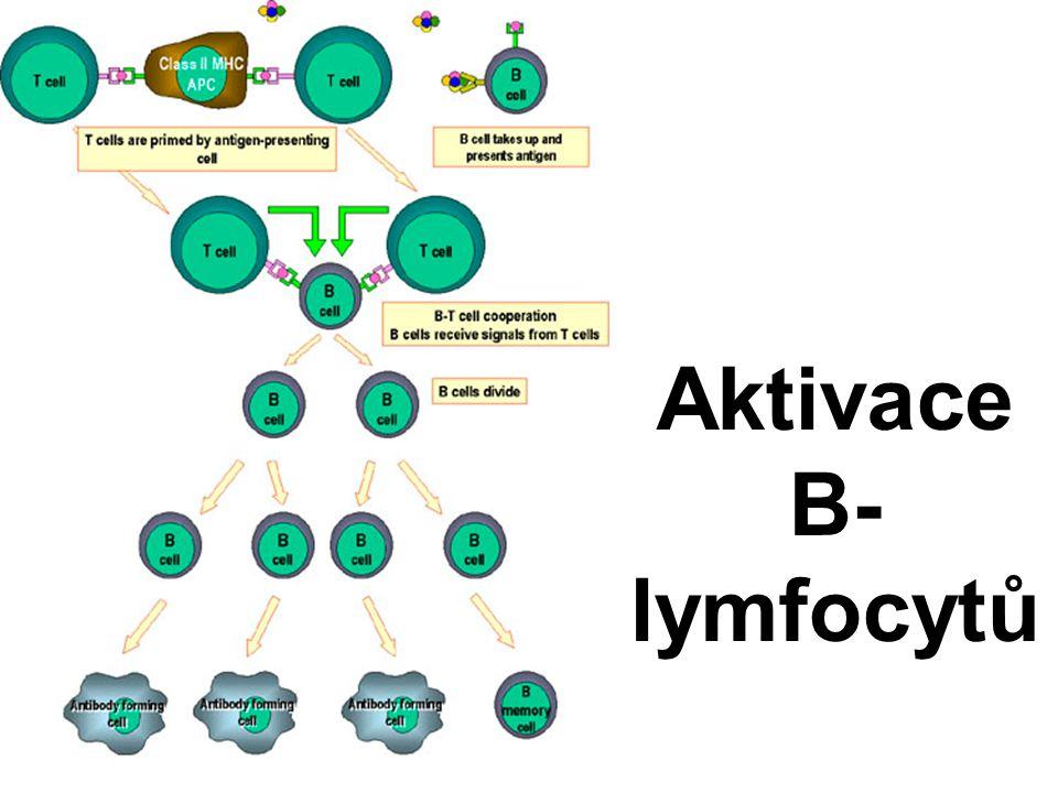 Aktivace B- lymfocytů