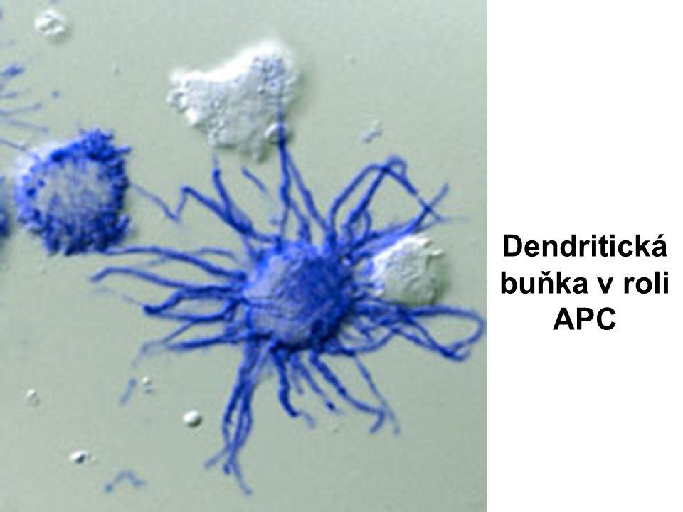Dendritická buňka v roli APC