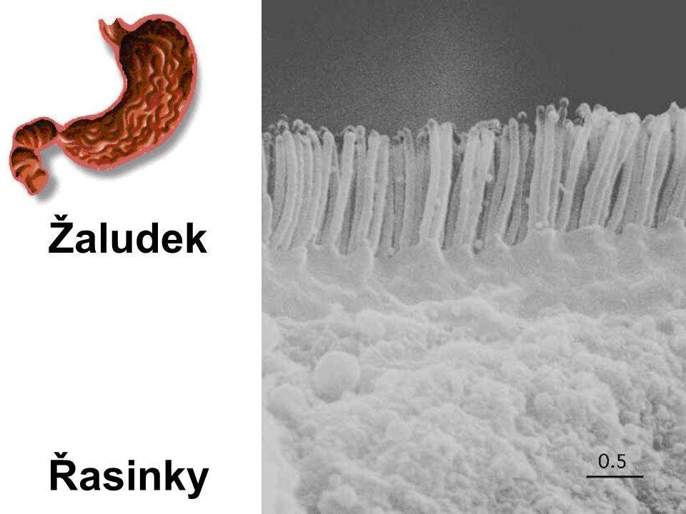 Řasinky Žaludek