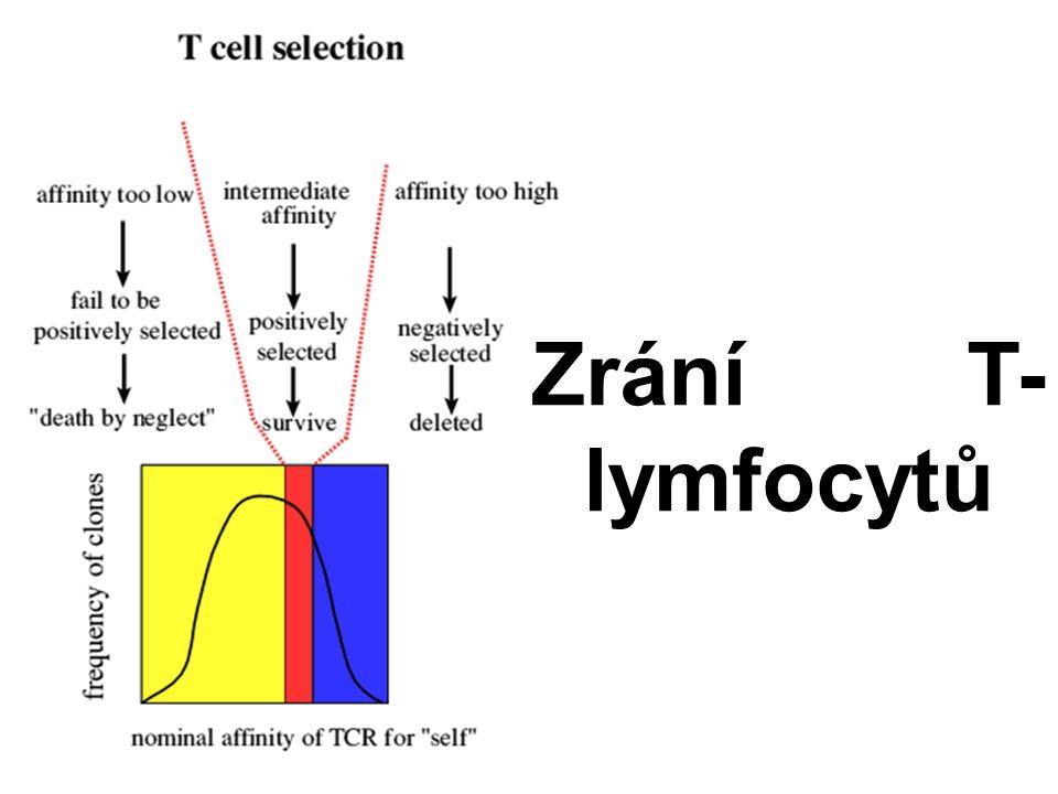 Zrání T- lymfocytů