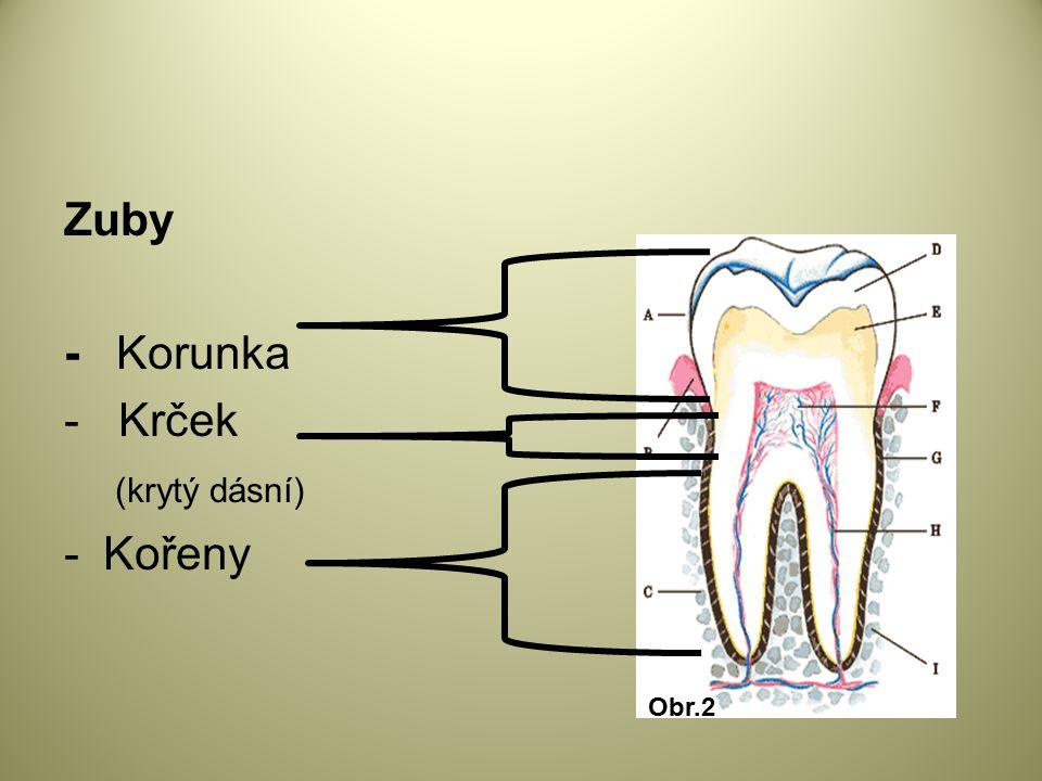 Zuby - Korunka - Krček (krytý dásní) - Kořeny Obr.2