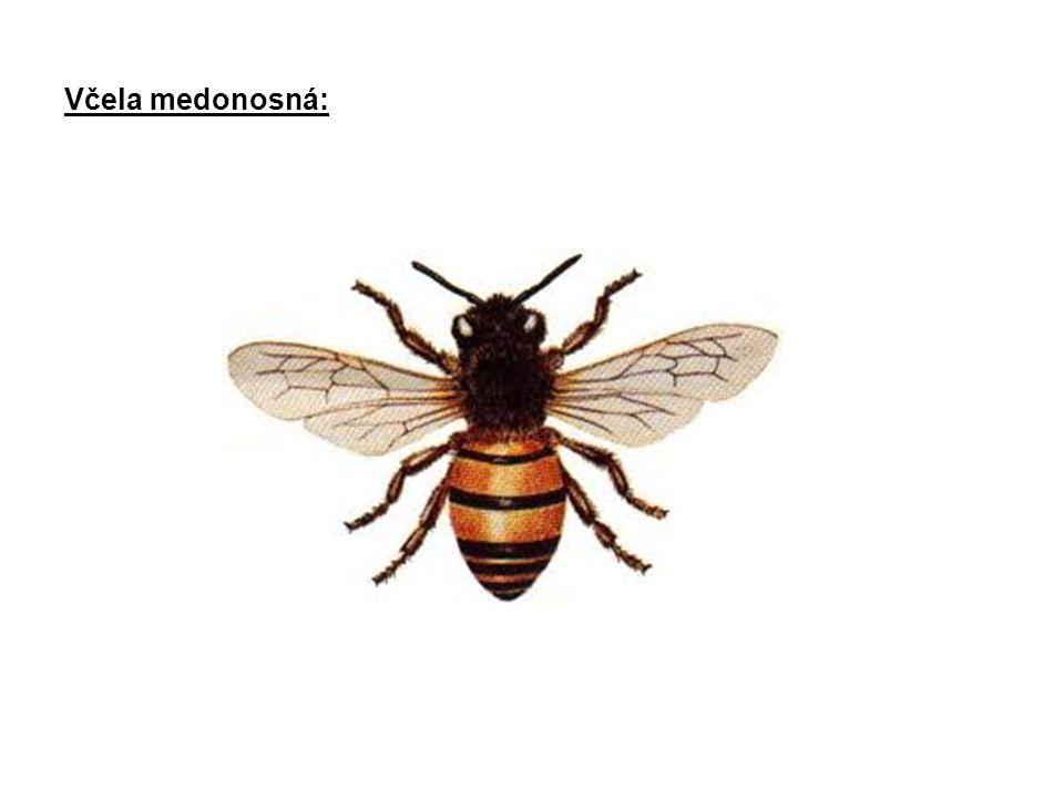 Hlava: nitková tykadla (čich + hmat) složené oči tři malá jednoduchá očka ústní ústrojí (u včely lízavě-sací) Hruď (tři články): tři páry končetin dva páry blanitých křídel Zadeček (šest článků): žihadlo