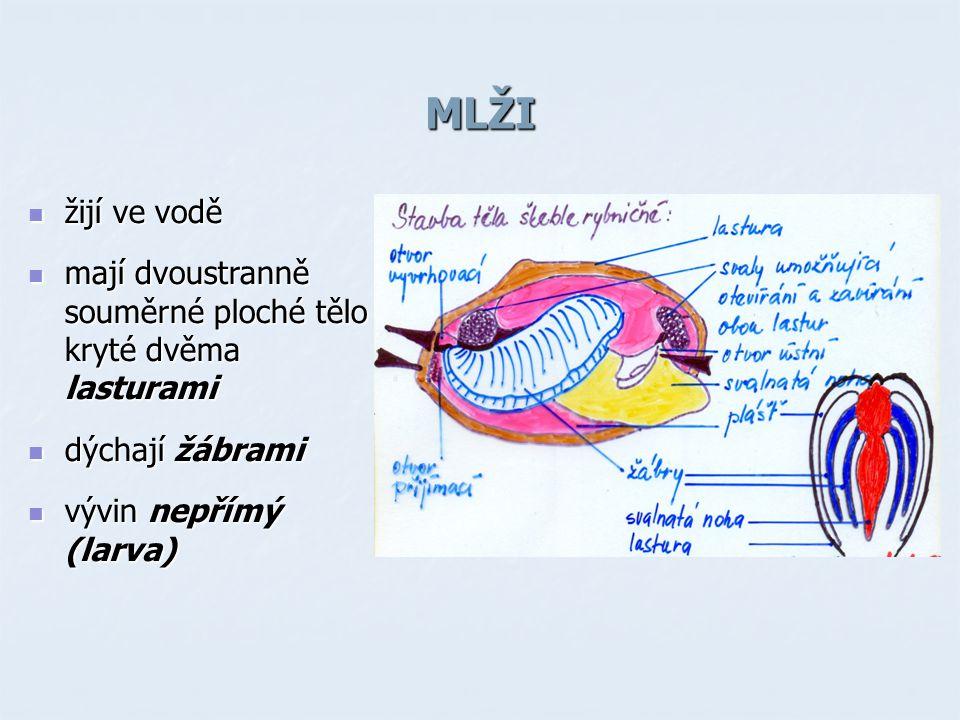 MLŽI žijí ve vodě žijí ve vodě mají dvoustranně souměrné ploché tělo kryté dvěma lasturami mají dvoustranně souměrné ploché tělo kryté dvěma lasturami dýchají žábrami dýchají žábrami vývin nepřímý (larva) vývin nepřímý (larva)