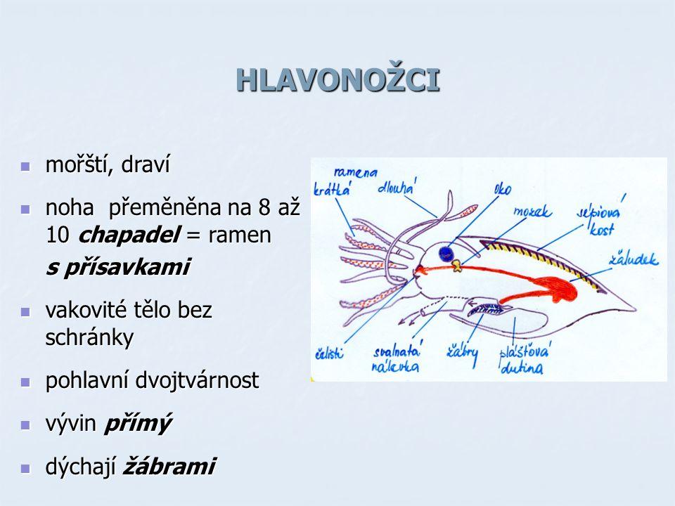 HLAVONOŽCI mořští, draví mořští, draví noha přeměněna na 8 až 10 chapadel = ramen noha přeměněna na 8 až 10 chapadel = ramen s přísavkami vakovité tělo bez schránky vakovité tělo bez schránky pohlavní dvojtvárnost pohlavní dvojtvárnost vývin přímý vývin přímý dýchají žábrami dýchají žábrami