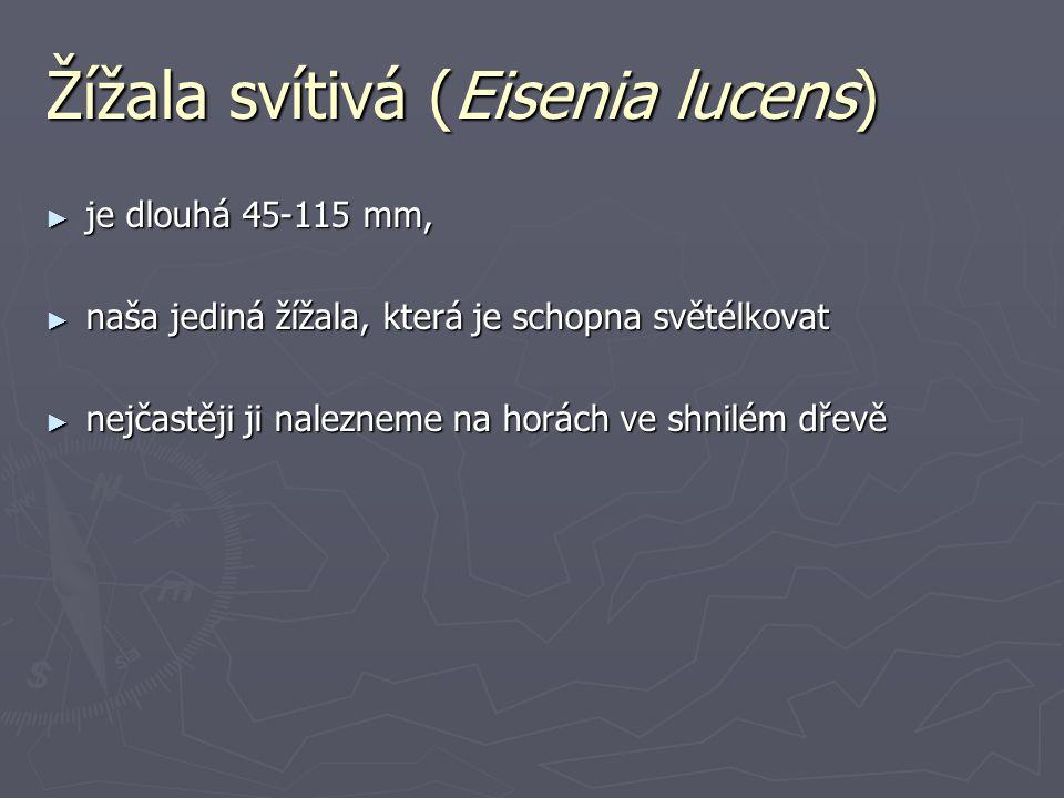 Žížala svítivá (Eisenia lucens) ► je dlouhá 45-115 mm, ► naša jediná žížala, která je schopna světélkovat ► nejčastěji ji nalezneme na horách ve shnilém dřevě