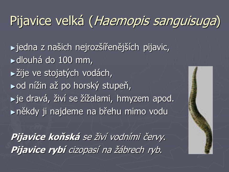 Pijavice velká (Haemopis sanguisuga) ► jedna z našich nejrozšířenějších pijavic, ► dlouhá do 100 mm, ► žije ve stojatých vodách, ► od nížin až po horský stupeň, ► je dravá, živí se žížalami, hmyzem apod.