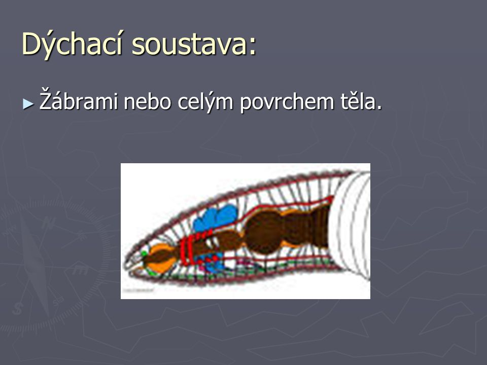 Dýchací soustava: ► Žábrami nebo celým povrchem těla.