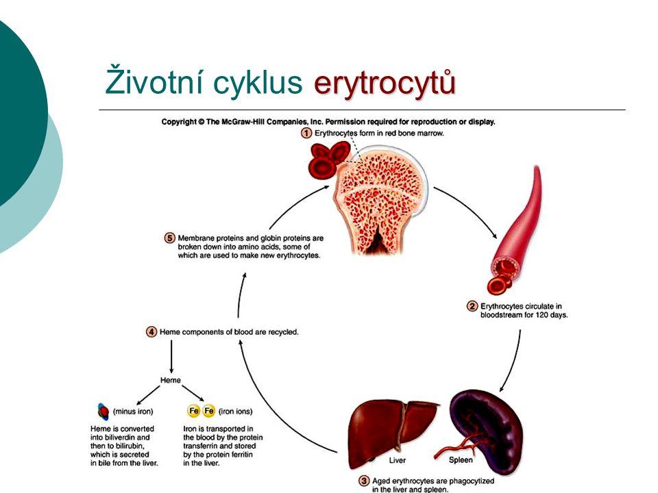 erytrocytů Životní cyklus erytrocytů