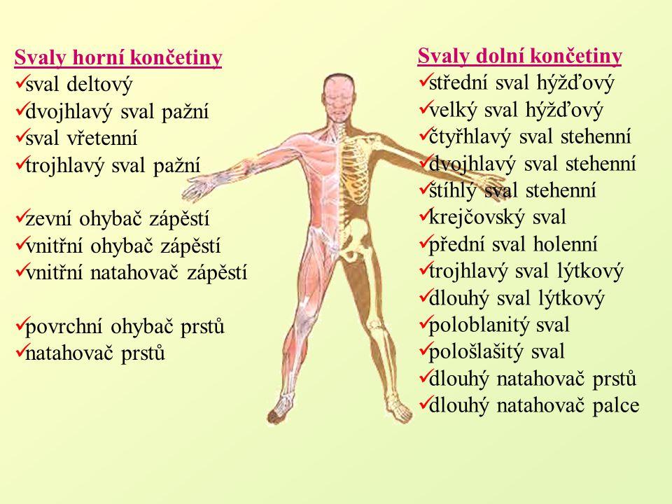 Svaly horní končetiny sval deltový dvojhlavý sval pažní sval vřetenní trojhlavý sval pažní zevní ohybač zápěstí vnitřní ohybač zápěstí vnitřní natahov