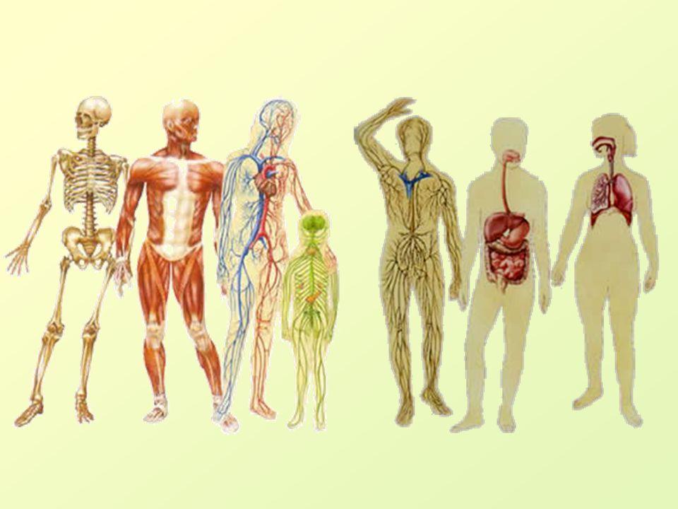 KŮŽE (cutis, derma) 1,6 - 1,8 m 2, funkce: ochranná, smyslová, skladovací, vylučovací, resorpční, udržování tělesné teploty.
