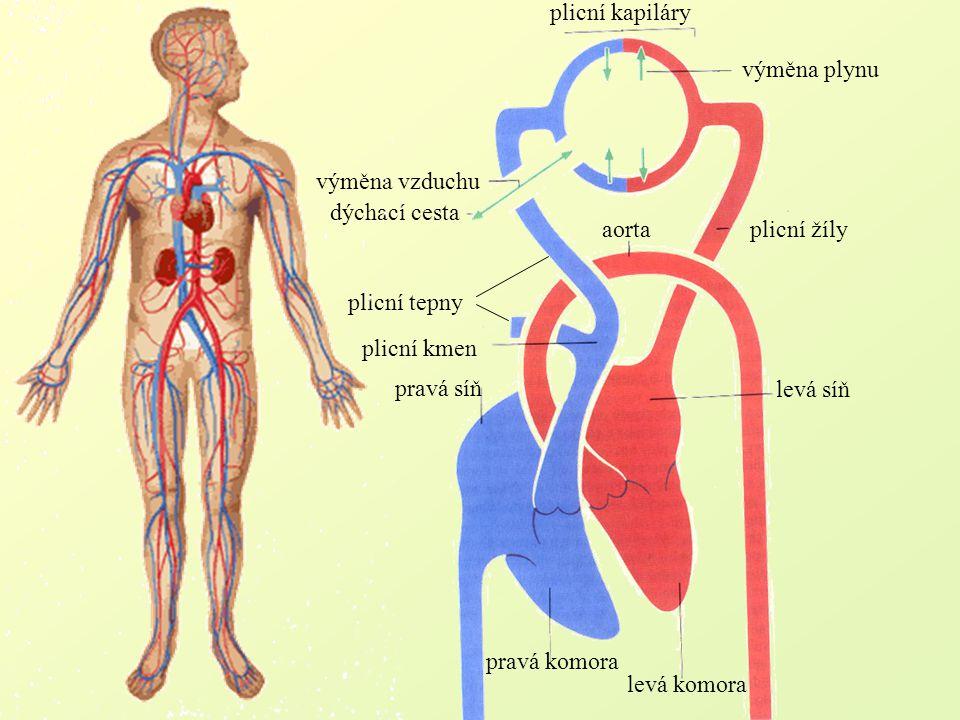 plicní kapiláry aortaplicní žíly levá síň levá komora pravá komora plicní kmen pravá síň dýchací cesta výměna vzduchu výměna plynu plicní tepny