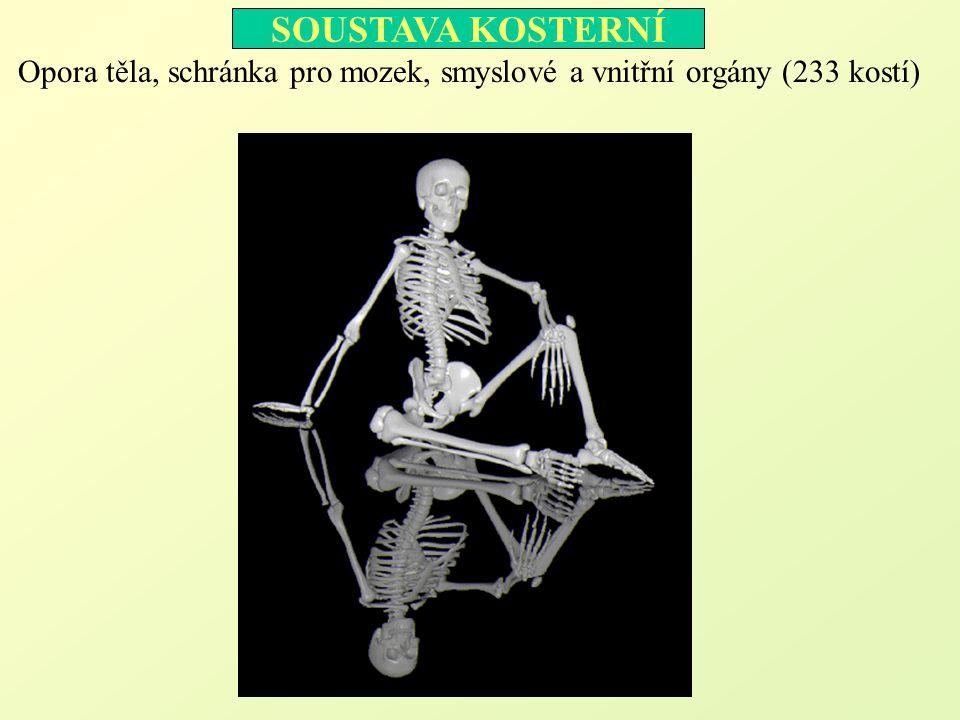 Kostra hlavy mozková část 1.kost čelní (os frontale) 2.kosti temenní (ossa parietalia) 3.kost týlní (os occipitale) 4.kosti spánkové (ossa temporalia) 5.kost klínová (os sphenoidale) 6.kost čichová (os ethmoidale) obličejová část 7.kosti lícní (ossa zygomatica) 8.horní čelist (maxila) 9.dolní čelist (mandibula) 10.kosti nosní (ossa nasalia) 11.skořepy nosní (conchae) 12.kosti slzní (ossa lacrimalia) 13.kosti patrové (ossa palatina) 14.kost radličná (vomer) Jazylka (os hyoideum) 3 2 4 7 1 10 8 9