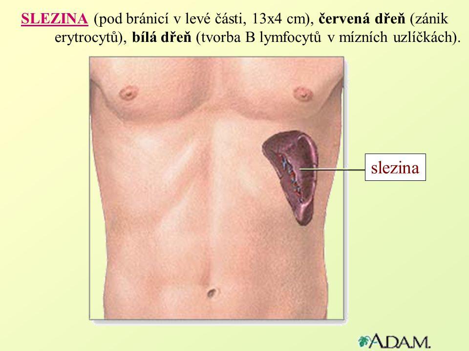 SLEZINA (pod bránicí v levé části, 13x4 cm), červená dřeň (zánik erytrocytů), bílá dřeň (tvorba B lymfocytů v mízních uzlíčkách). slezina