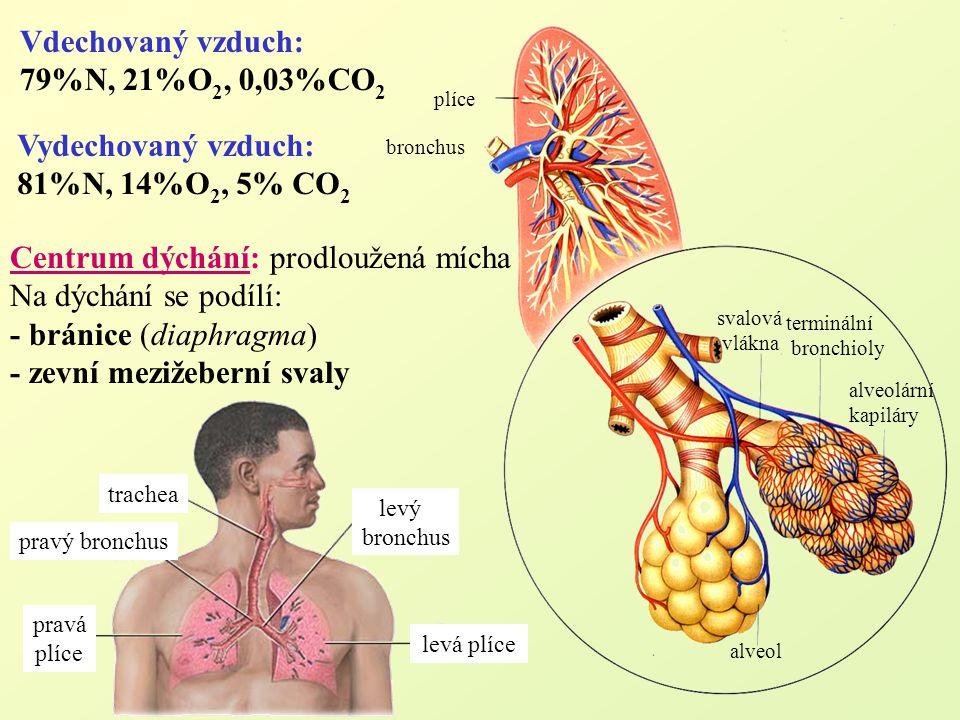 Centrum dýchání: prodloužená mícha Na dýchání se podílí: - bránice (diaphragma) - zevní mezižeberní svaly Vdechovaný vzduch: 79%N, 21%O 2, 0,03%CO 2 a