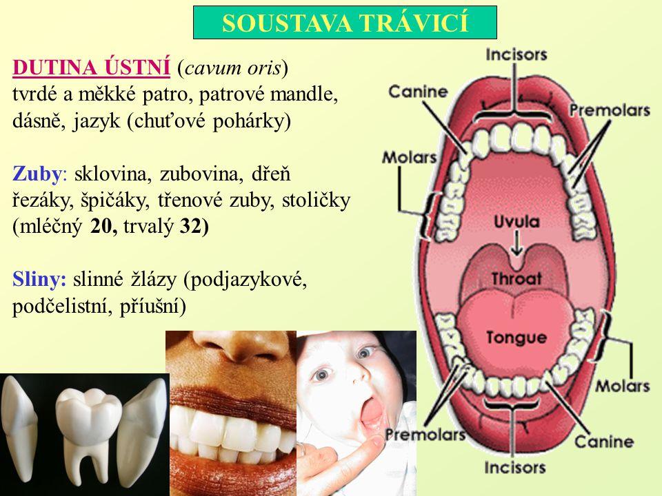 SOUSTAVA TRÁVICÍ DUTINA ÚSTNÍ (cavum oris) tvrdé a měkké patro, patrové mandle, dásně, jazyk (chuťové pohárky) Zuby: sklovina, zubovina, dřeň řezáky,