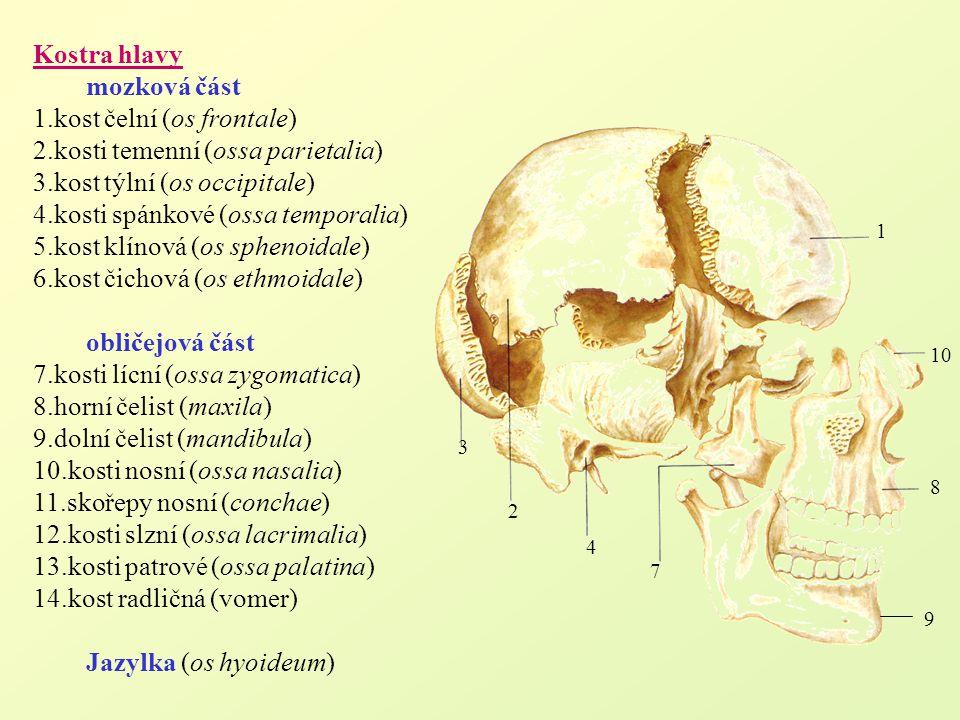 Kostra hlavy mozková část 1.kost čelní (os frontale) 2.kosti temenní (ossa parietalia) 3.kost týlní (os occipitale) 4.kosti spánkové (ossa temporalia)