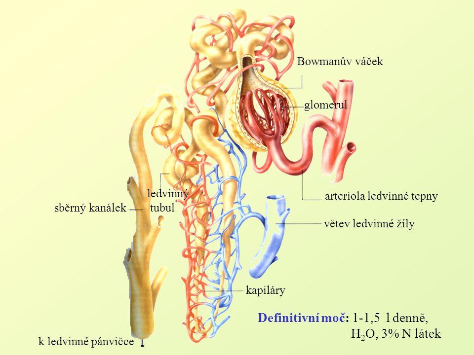 Bowmanův váček glomerul arteriola ledvinné tepny větev ledvinné žíly kapiláry ledvinný tubul sběrný kanálek k ledvinné pánvičce Definitivní moč: 1-1,5