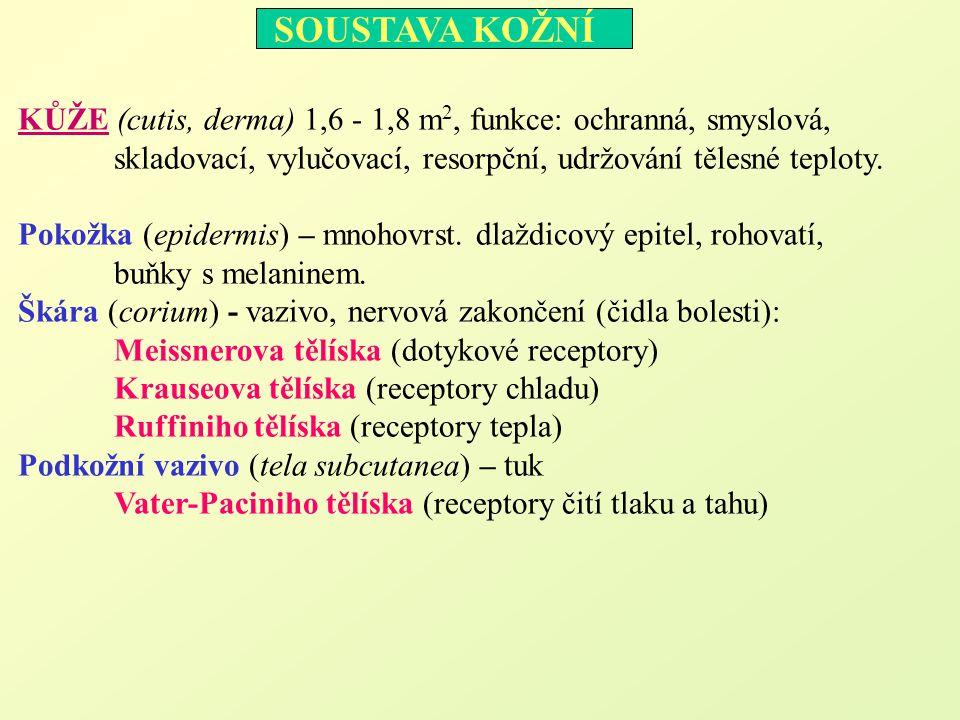KŮŽE (cutis, derma) 1,6 - 1,8 m 2, funkce: ochranná, smyslová, skladovací, vylučovací, resorpční, udržování tělesné teploty. Pokožka (epidermis) – mno