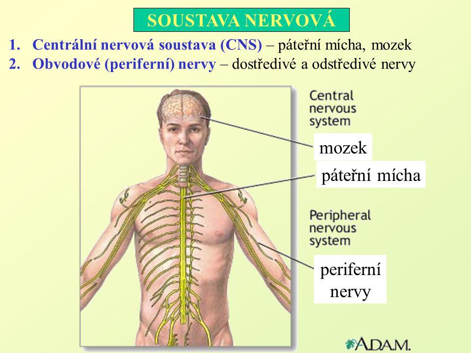 1.Centrální nervová soustava (CNS) – páteřní mícha, mozek 2.Obvodové (periferní) nervy – dostředivé a odstředivé nervy SOUSTAVA NERVOVÁ mozek páteřní