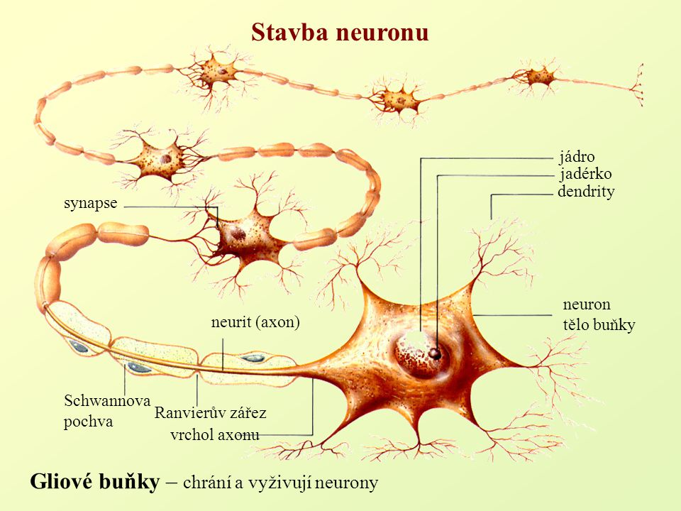 Stavba neuronu jádro dendrity vrchol axonu jadérko synapse Schwannova pochva neuron tělo buňky neurit (axon) Ranvierův zářez Gliové buňky – chrání a v
