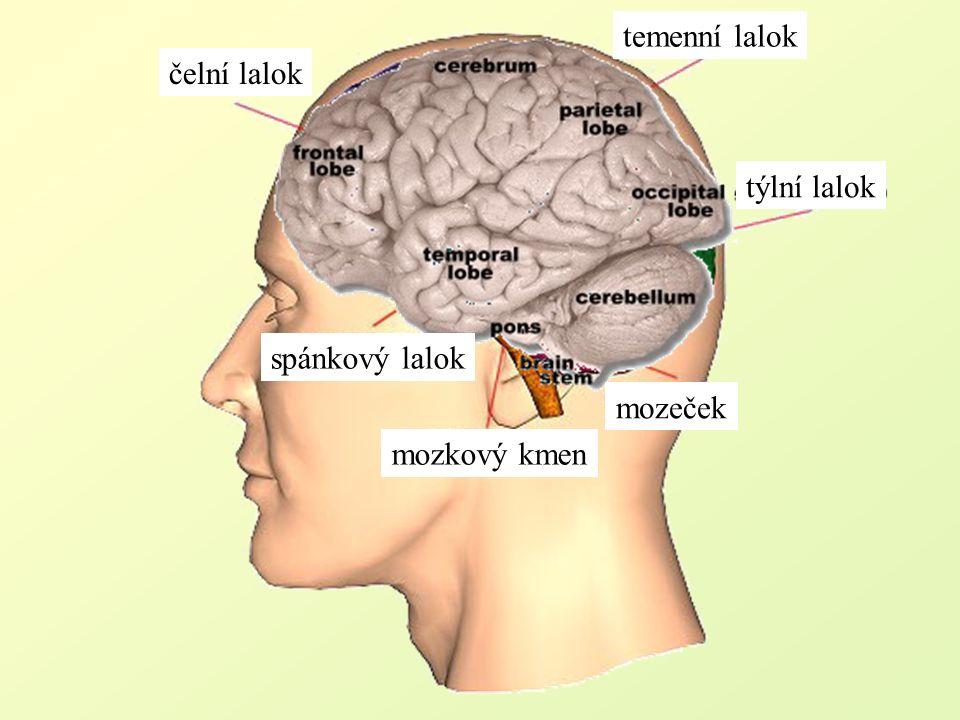 čelní lalok temenní lalok týlní lalok mozeček spánkový lalok mozkový kmen