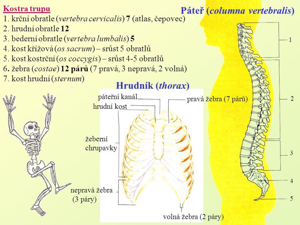 Kostra trupu 1. krční obratle (vertebra cervicalis) 7 (atlas, čepovec) 2. hrudní obratle 12 3. bederní obratle (vertebra lumbalis) 5 4. kost křížová (