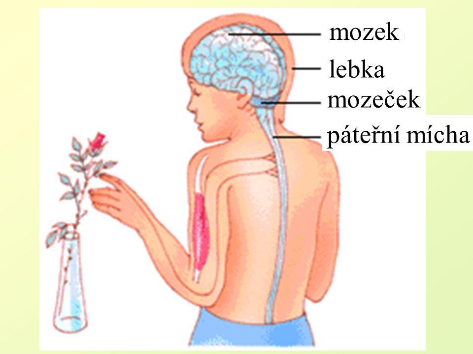 mozek lebka mozeček páteřní mícha
