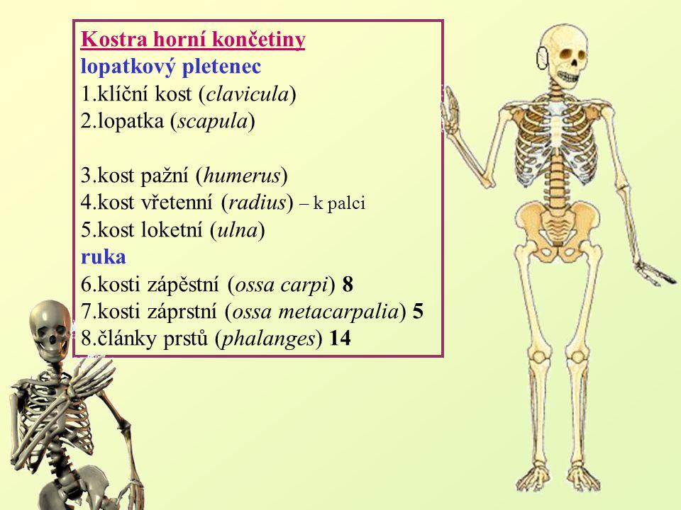 Kostra dolní končetiny pánevní pletenec 1.kosti pánevní (ossa coxae) 2 - kyčelní kost (os ilium) - sedací kost (os ischii) - stydká kost (os pubis) (pánev=kosti pánevní+kost křížová) 2.kost stehenní (femur) 3.čéška (patella) 4.kost holenní (tibia) – k palci 5.kost lýtková (fibula) noha 6.zánártní kosti (ossa tarsi) 7 (kost hlezenní, patní, krychlová, loďkovitá, 3 kůstky klínovité) 7.nártní kosti (ossa metatarsi) 5 8.články prstů (phalanges) 14