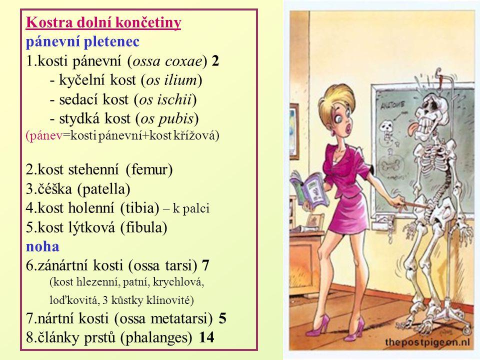 Kostra dolní končetiny pánevní pletenec 1.kosti pánevní (ossa coxae) 2 - kyčelní kost (os ilium) - sedací kost (os ischii) - stydká kost (os pubis) (p
