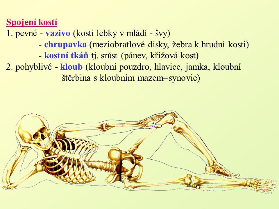 Spojení kostí 1. pevné - vazivo (kosti lebky v mládí - švy) - chrupavka (meziobratlové disky, žebra k hrudní kosti) - kostní tkáň tj. srůst (pánev, kř