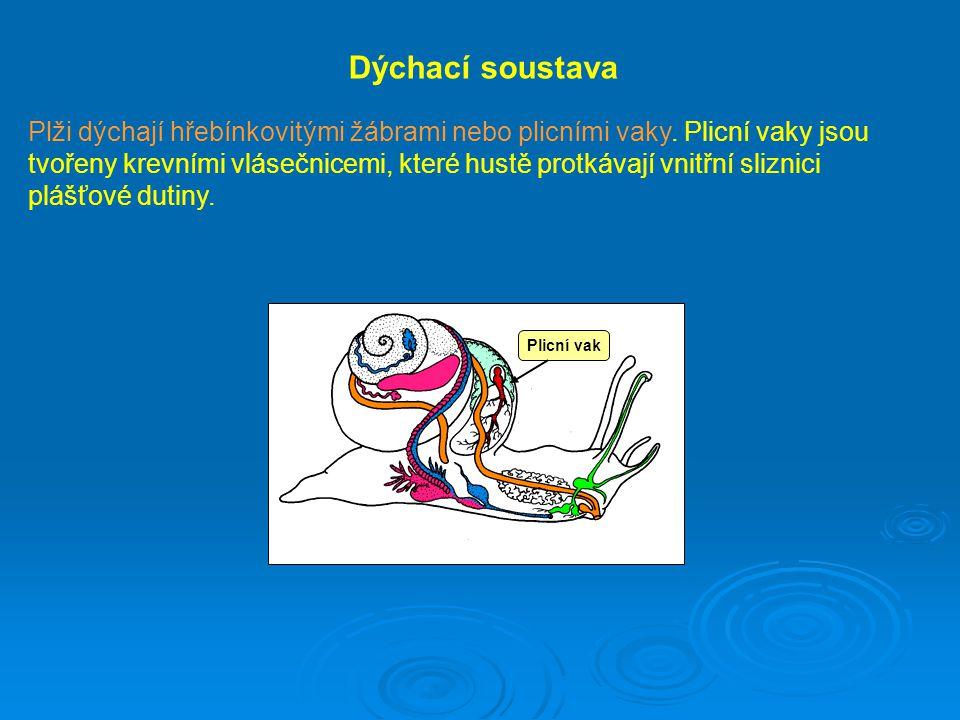 Dýchací soustava Plži dýchají hřebínkovitými žábrami nebo plicními vaky. Plicní vaky jsou tvořeny krevními vlásečnicemi, které hustě protkávají vnitřn