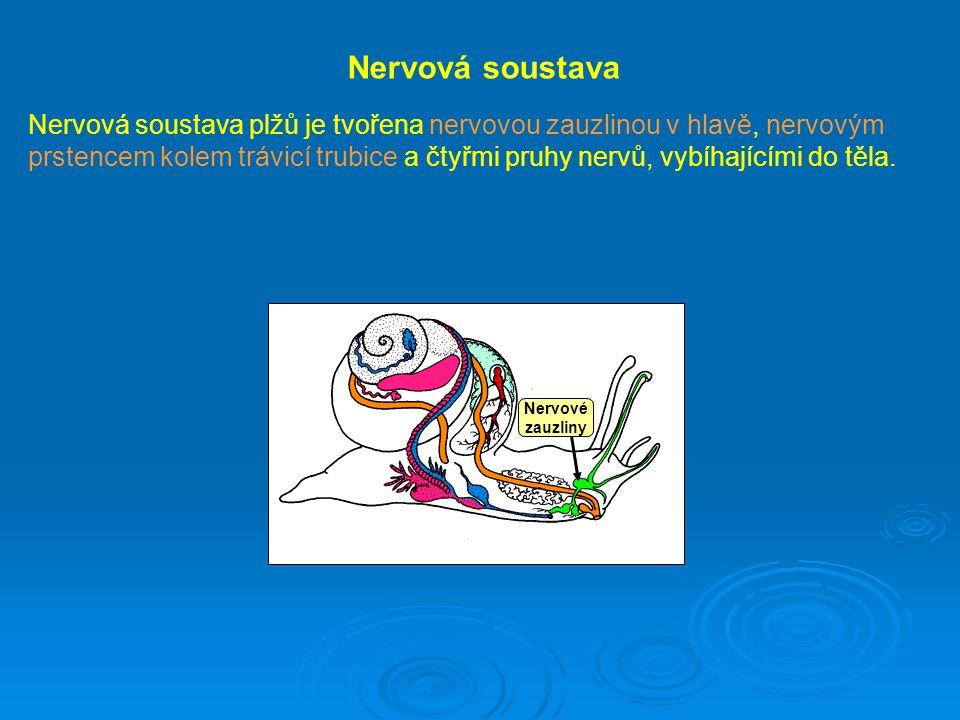 Nervová soustava Nervová soustava plžů je tvořena nervovou zauzlinou v hlavě, nervovým prstencem kolem trávicí trubice a čtyřmi pruhy nervů, vybíhajíc