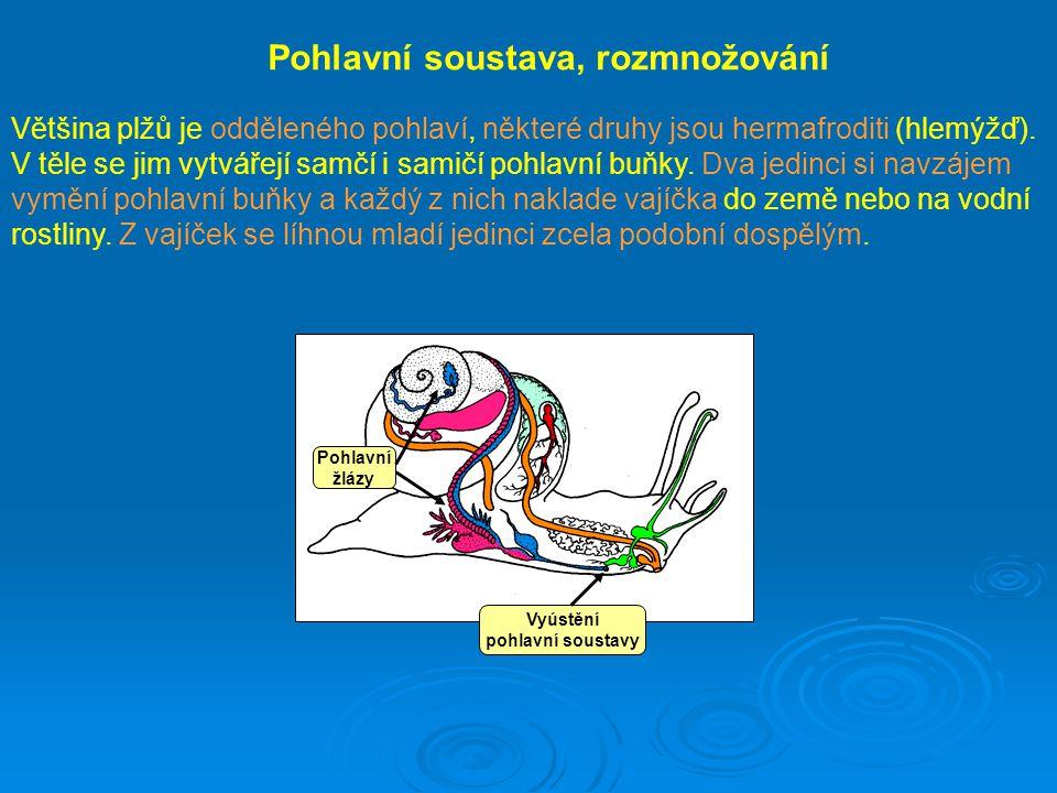 Pohlavní žlázy Pohlavní soustava, rozmnožování Většina plžů je odděleného pohlaví, některé druhy jsou hermafroditi (hlemýžď). V těle se jim vytvářejí