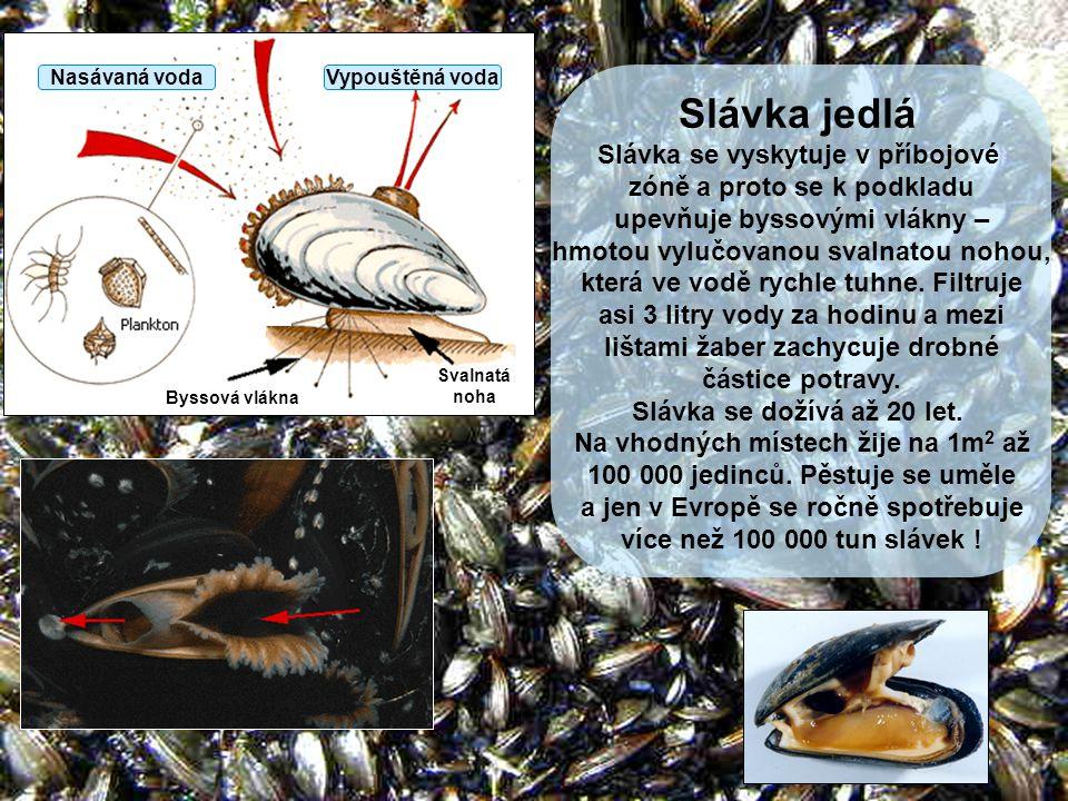 Slávka jedlá Slávka se vyskytuje v příbojové zóně a proto se k podkladu upevňuje byssovými vlákny – hmotou vylučovanou svalnatou nohou, která ve vodě
