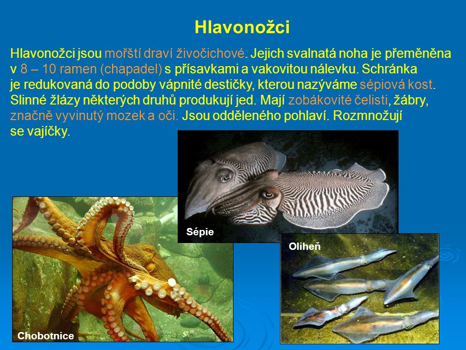 Hlavonožci Hlavonožci jsou mořští draví živočichové. Jejich svalnatá noha je přeměněna v 8 – 10 ramen (chapadel) s přísavkami a vakovitou nálevku. Sch