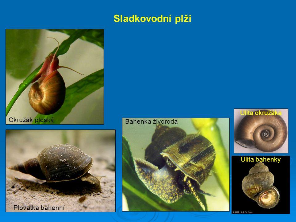 Akvarijní plž Pomacea cannaliculata Vajíčka, líhnutí, mladí jedinci