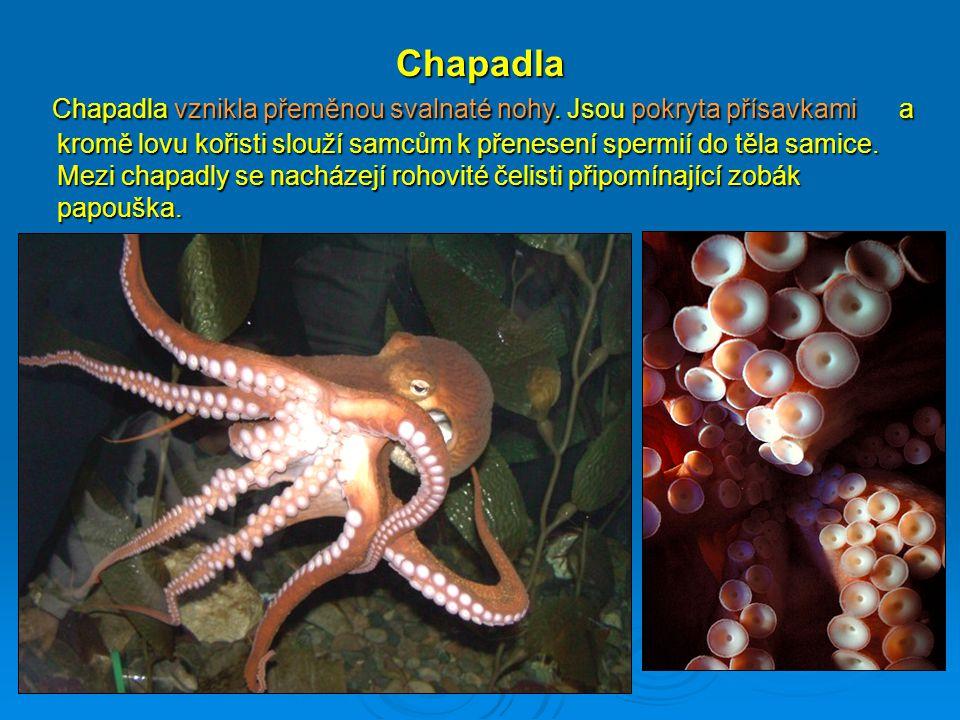 Chapadla Chapadla vznikla přeměnou svalnaté nohy. Jsou pokryta přísavkami a kromě lovu kořisti slouží samcům k přenesení spermií do těla samice. Mezi