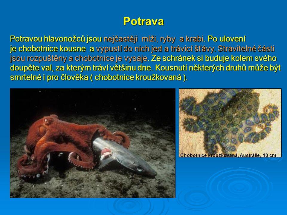 Potrava Potravou hlavonožců jsou nejčastěji mlži, ryby a krabi. Po ulovení je chobotnice kousne a vypustí do nich jed a trávicí šťávy. Stravitelné čás