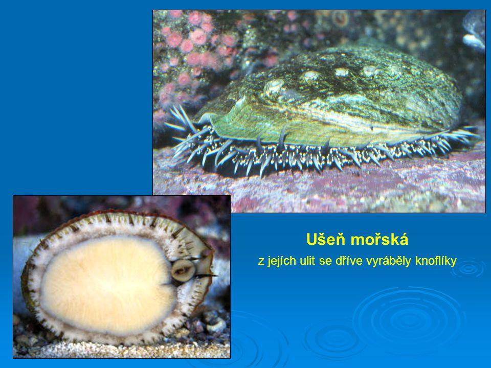 Mlži Mlži jsou výhradně vodní živočichové.Mají ploché tělo s redukovanou hlavou.