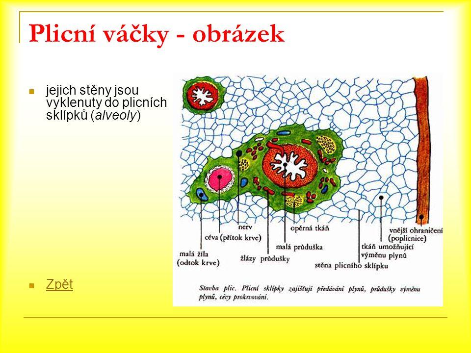 Plicní váčky - obrázek jejich stěny jsou vyklenuty do plicních sklípků (alveoly) Zpět