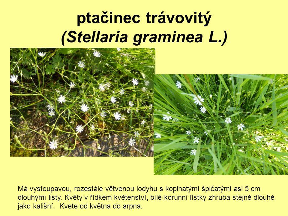 ptačinec trávovitý (Stellaria graminea L.) Má vystoupavou, rozestále větvenou lodyhu s kopinatými špičatými asi 5 cm dlouhými listy. Květy v řídkém kv