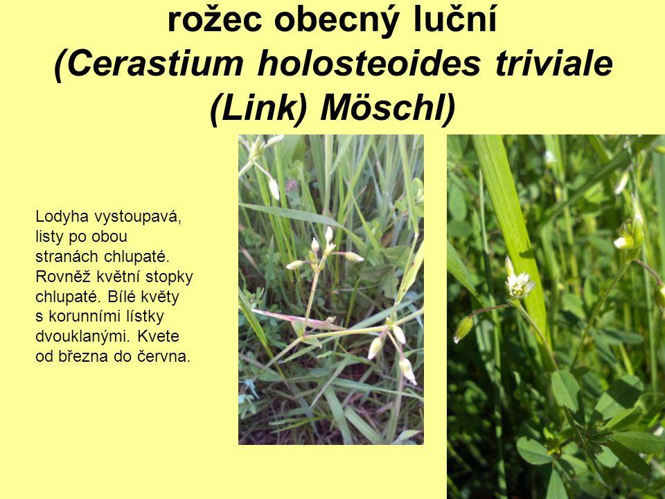 rožec obecný luční (Cerastium holosteoides triviale (Link) Möschl) Lodyha vystoupavá, listy po obou stranách chlupaté. Rovněž květní stopky chlupaté.