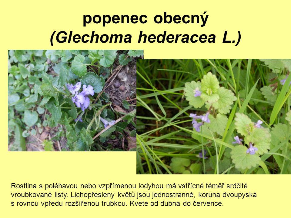 popenec obecný (Glechoma hederacea L.) Rostlina s poléhavou nebo vzpřímenou lodyhou má vstřícné téměř srdčité vroubkované listy. Lichopřesleny květů j