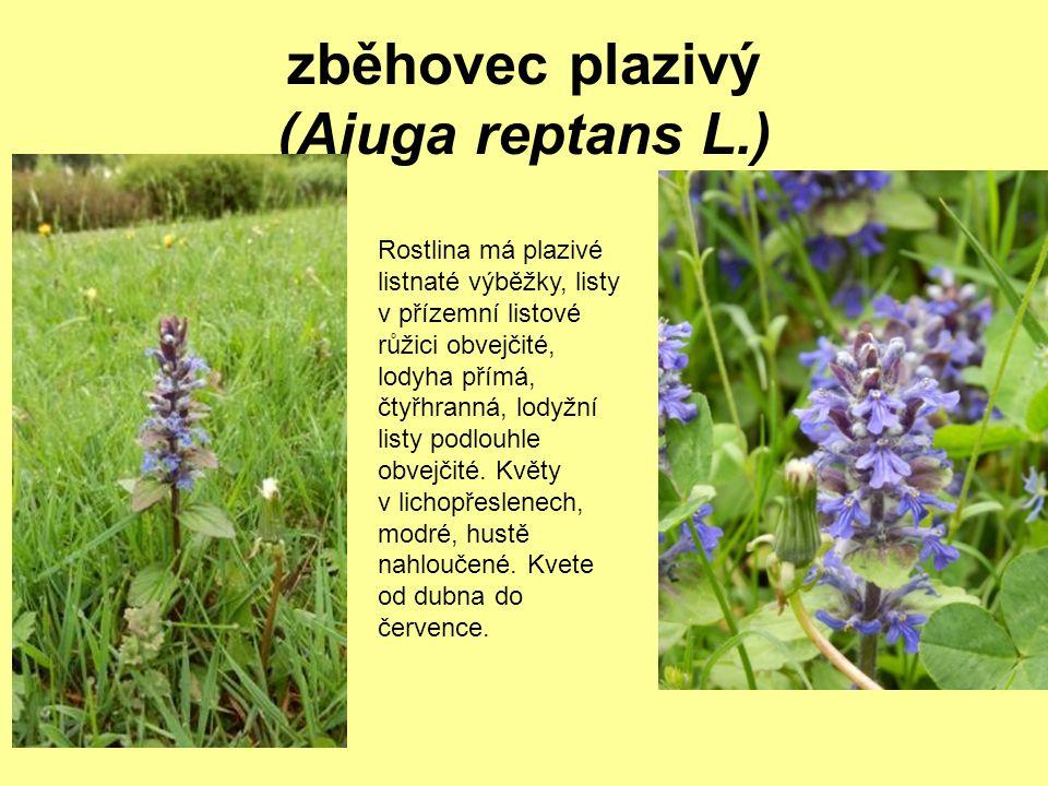 zběhovec plazivý (Ajuga reptans L.) Rostlina má plazivé listnaté výběžky, listy v přízemní listové růžici obvejčité, lodyha přímá, čtyřhranná, lodyžní