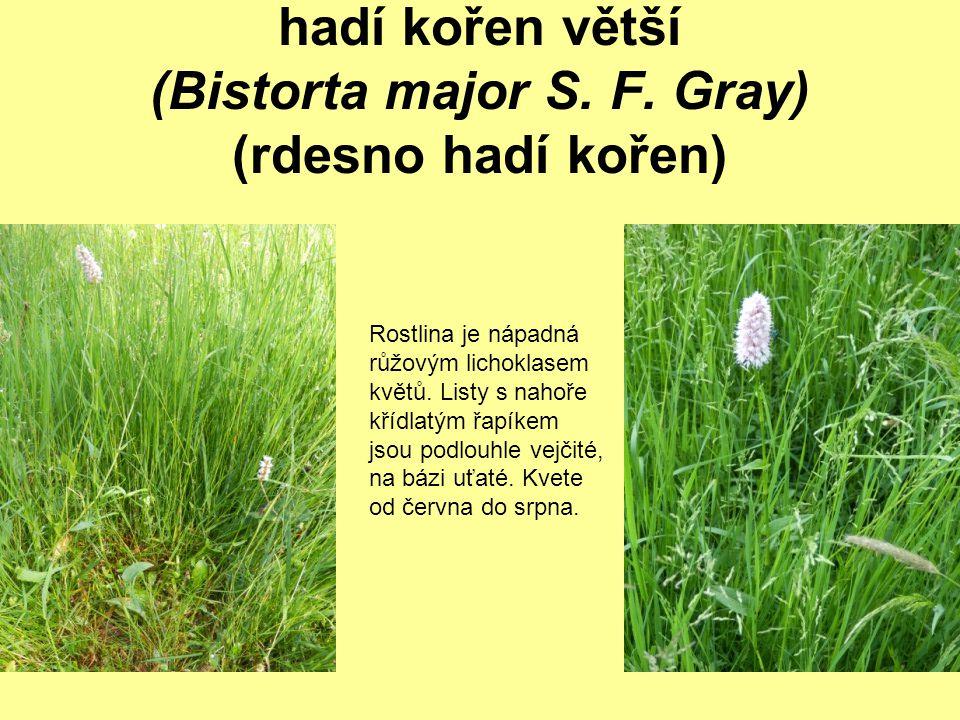 hadí kořen větší (Bistorta major S. F. Gray) (rdesno hadí kořen) Rostlina je nápadná růžovým lichoklasem květů. Listy s nahoře křídlatým řapíkem jsou