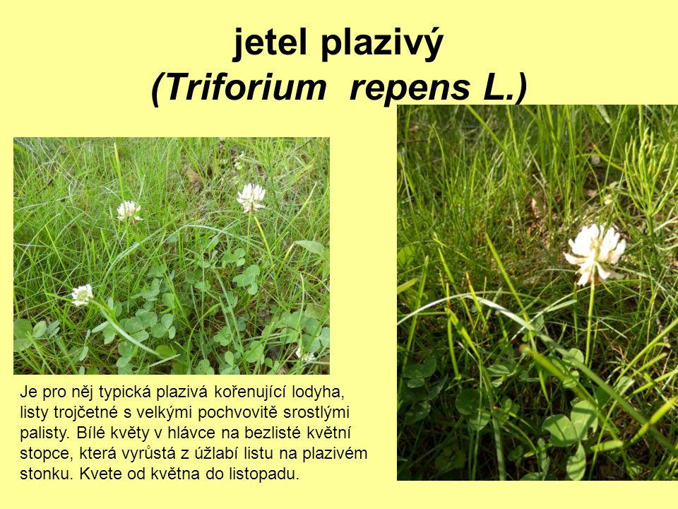 jetel plazivý (Triforium repens L.) Je pro něj typická plazivá kořenující lodyha, listy trojčetné s velkými pochvovitě srostlými palisty. Bílé květy v